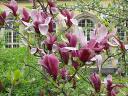 magnolia_liliiflora2.jpg